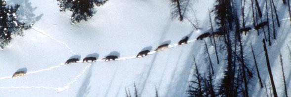 Meute de Loups à Yellowstone